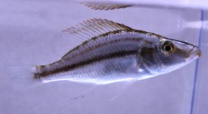 compressiceps