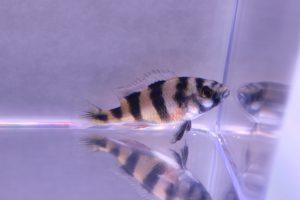 zebra obliquiden